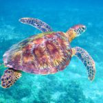 Tortuga. Sea Turtle | Bahia Principe Privilege Club